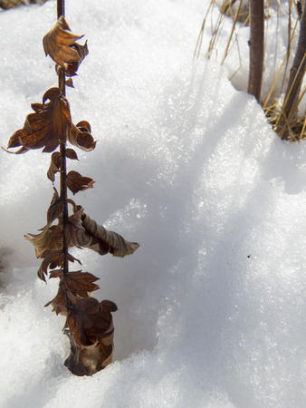 Dry leaves branch in the snow