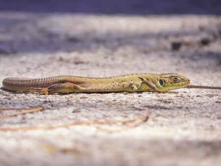 saurian: Lizard
