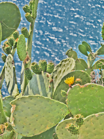 Opuntia Prickly Pear Cactus by the aegean sea