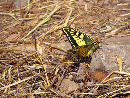 Swallowtail butterfly papilio machaon Stok Fotoğraf