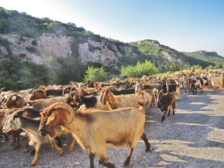 Goats in Peloponesse
