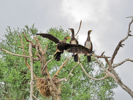 Cormorant birds on a tree in the lake Stock Photo
