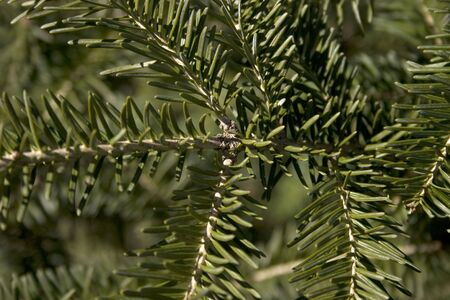 an upclose picture of a spruce tree