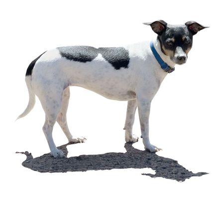 a rat terrier dog Stock fotó