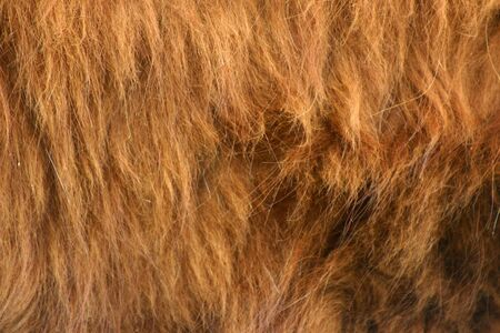 highlander: un disparo cerca de Highlander de pieles de ganado