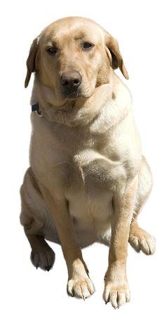 a golden lab dog sitting Stock fotó
