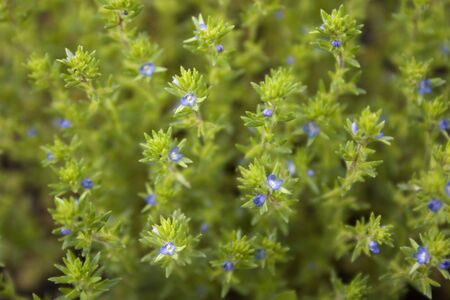 a background of tiny blue flowers