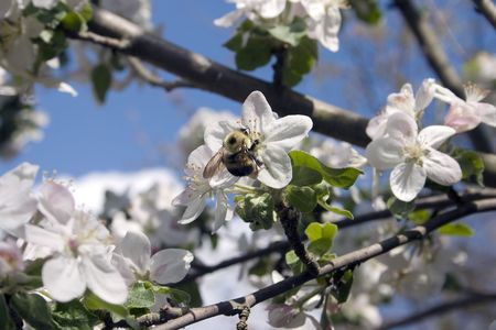 a bumble be pollenating an apple blossom