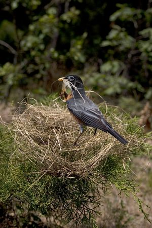 shambles: a robin with its nest falling down around it
