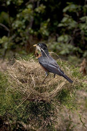 een roodborstje met haar nest vallen eromheen