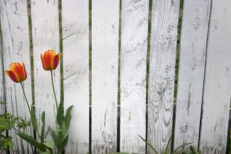 an old picket fence with tulips growing in front Stock Photo - 469179