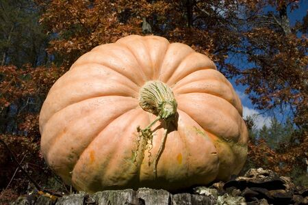 large pumpkin: a large pumpkin with autumn colors in the background
