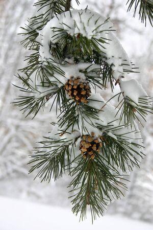 een groenblijvende tak met een zware sneeuw op het