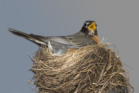 a robin in her nest against a gray background