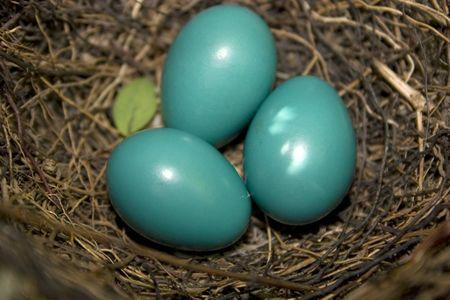 catbird: three catbird eggs nestled in a nest