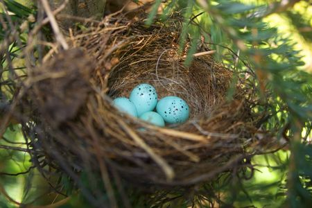 chipping sparrow eggs in a cozy nest Stock Photo
