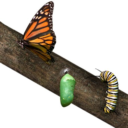 a monarch butterfly in differing stages of life from caterpillar to cacoon to butterfly Stockfoto