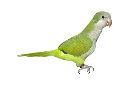 squawk: a little parrot isolated on a white background