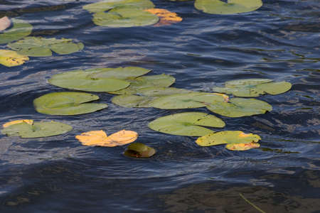 lily pads floating on a blue lake Stock Photo - 771125