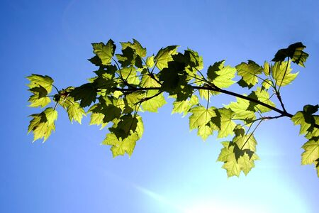 a maple branch with the sun shining through