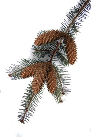 bough: a pine bough with pine cones
