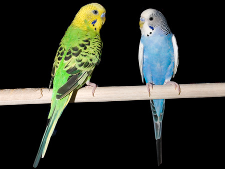 a green parakeet and a blue parakeet on a perch