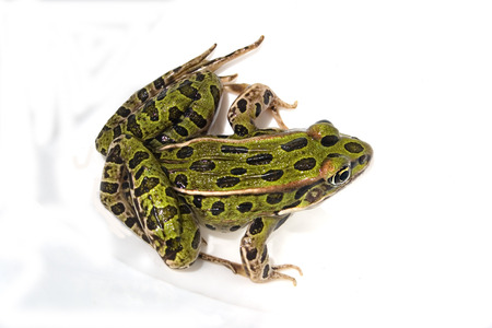croak: a green frog isolated on a white background