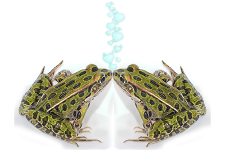 two frogs mirroring each other in a kiss photo