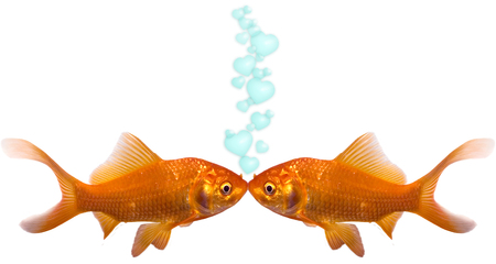 wet lips: Two goldfish kissing with heart bubbles going up