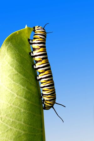 crawling animal: a monarch caterpillar eating a milkweed leaf Stock Photo