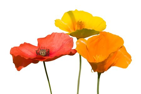 some beautiful colorful poppie flowers isolated on white