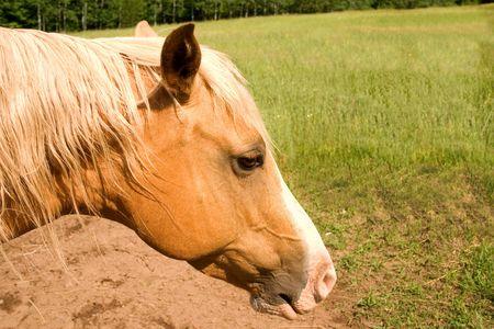 a blond colored  arabian horse in a field Stock Photo - 2572024