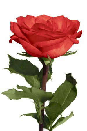 a beautiful red rose isolated on white Stock Photo