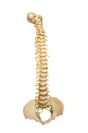 a model of a spinal column isolated on white