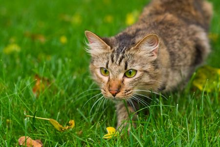small cat is hunting on green grass Stock Photo - 3343098