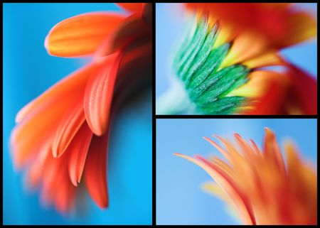 tree part of red african daisy on blue background photo