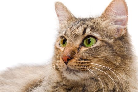 redheaded cat on white background looking  at you Stock Photo - 3438710