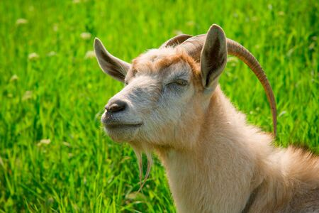 goat head with long horns in green grass Stock Photo - 3486845