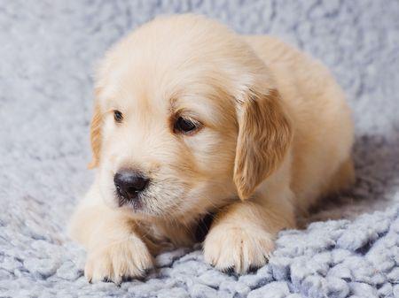 Small cute retriever puppy lying on sofa