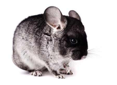 Small gray and black chinchilla on white background photo