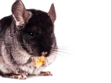 Small chinchilla eating a banana on white background photo