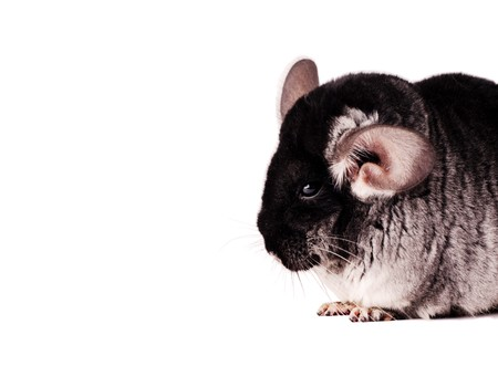 Small black chinchilla isolated on white background photo