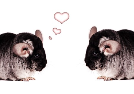 Two small black chinchillas isolated on white background photo