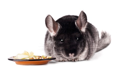 Small chinchilla eating from a saucer on white background photo
