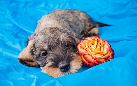 Small dachshund lying with a flower on blue cloth photo