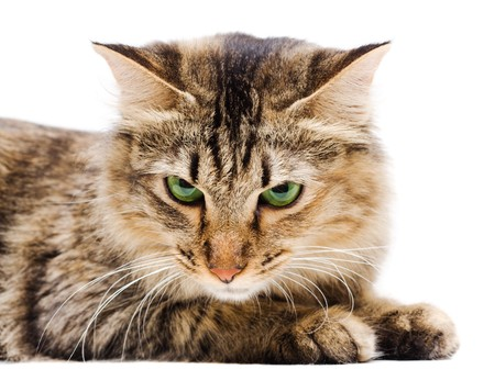 Angry cat with green eyes on white background Stock Photo - 4454742