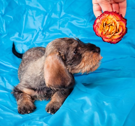 Small dachshund smelling a rose on blue cover photo