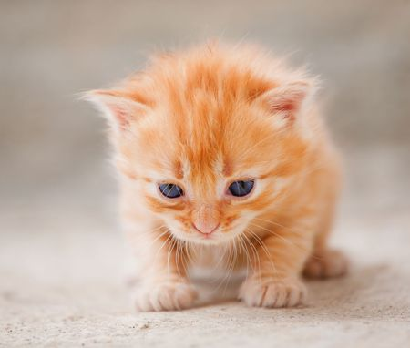 frail: Small red furry kitten with blue eyes