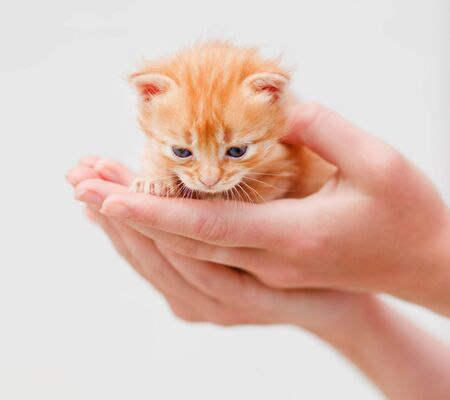 Small red kitten in human hands Stock Photo