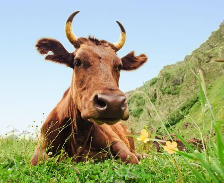 Big brown cow lying on a meadow Stock Photo - 6799419